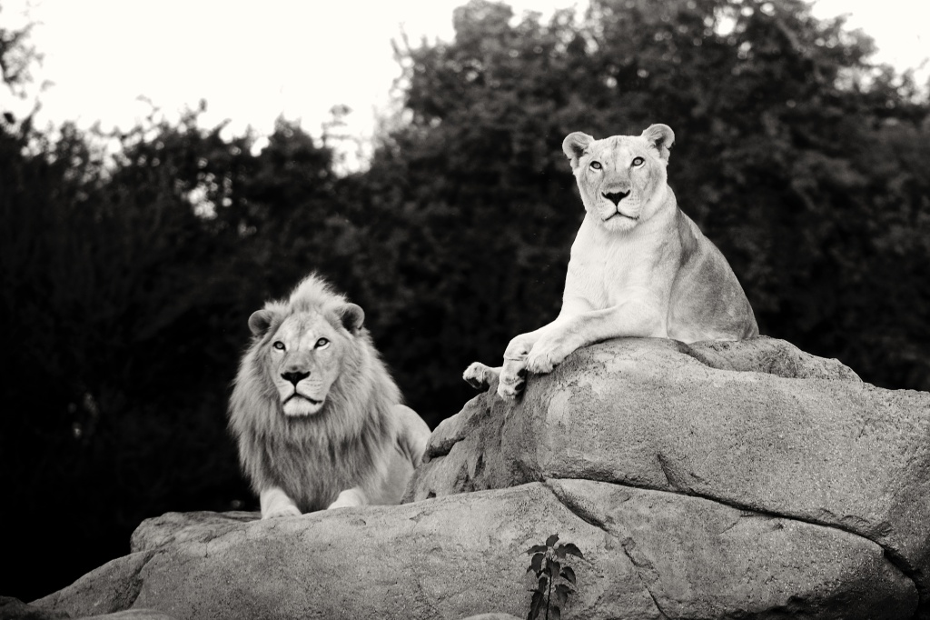 alain_lion_bw
