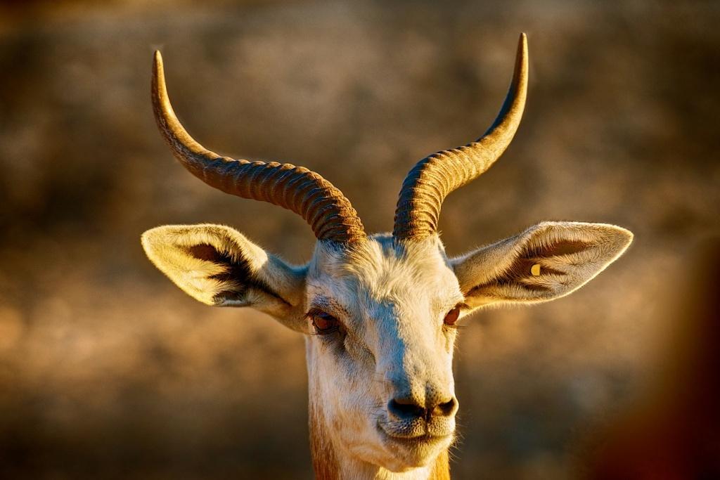 Al Ain Deer