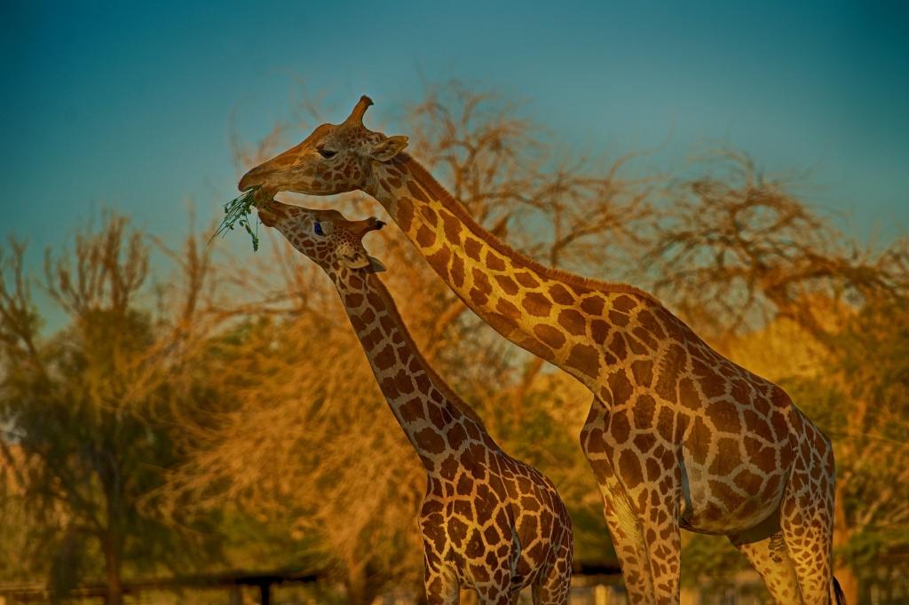 Giraffe mom and son